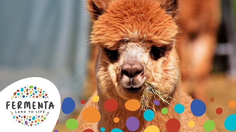 FERMENTA FESTIVAL - Breakfast with an Alpaca by Lindsay Kelley